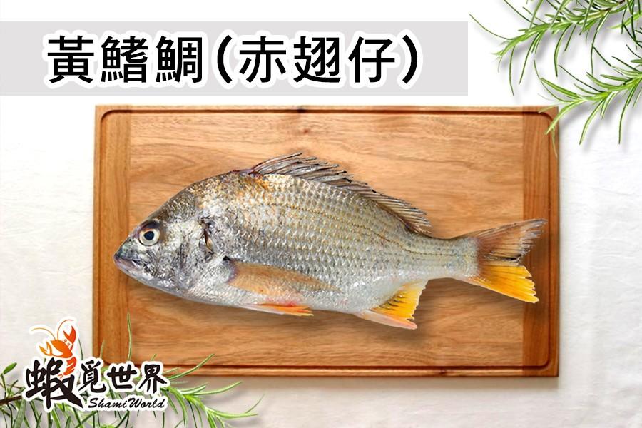 黃鰭鯛-1.jpg